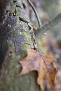 leaf grey bruce