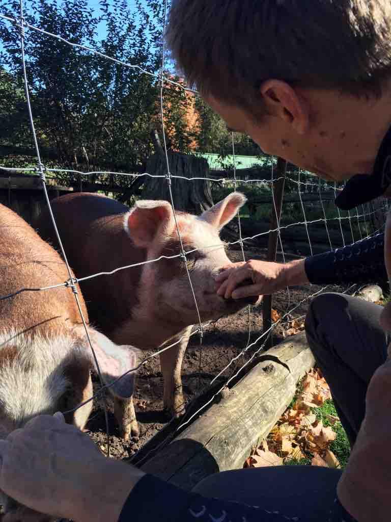 p-pigs